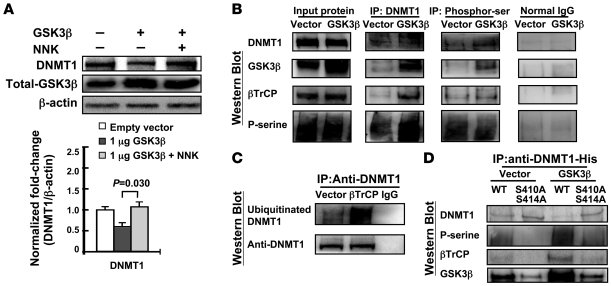 GSK3β and βTrCP interact with DNMT1 protein and enhance DNMT1 degradatio...