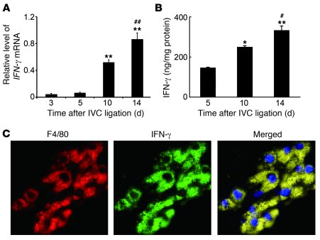 Intrathrombotic IFN-γ expression in WT mice after IVC ligation. (A) Ifnγ...