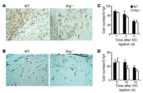 Enumeration of intrathrombotic leukocytes in WT and Ifng–/– mice.     (A...