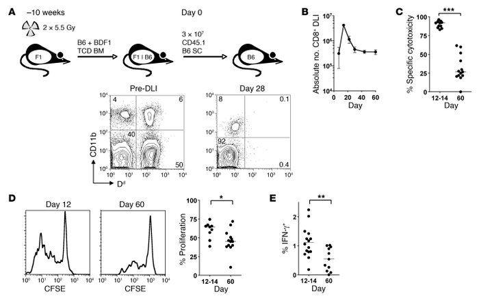 CD8+ T cells transferred to established mixed chimeras show transient cy...