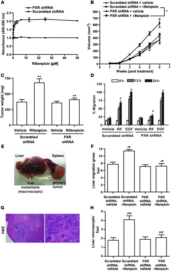 PXR activation induces cell proliferation and cell migration in vitro an...