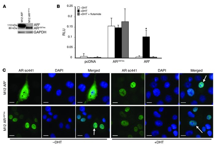 Constitutive activation of the ARv567es in M12 prostate cancer cells.   ...