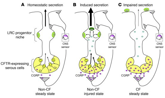 Working model for CGRP regulation of CFTR-dependent airway gland functio...