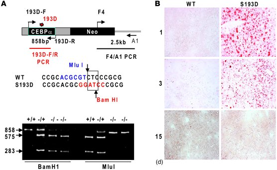 Generation of C/EBPα-S193D mice and characterization of liver functions ...