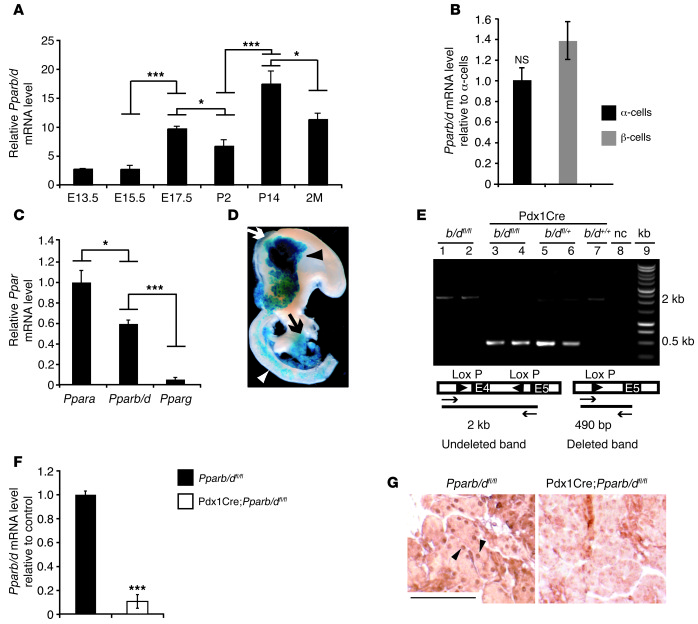 Pparb/d ablation in pancreas.   (A) Relative Pparb/d mRNA expression le...