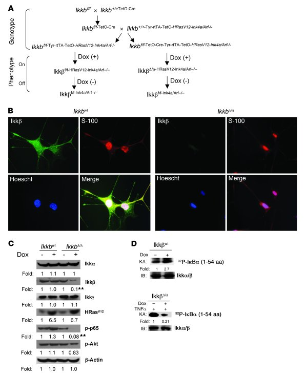 Generation of Ikkβ knockout mice and characterization of Ikkβ-depleted m...