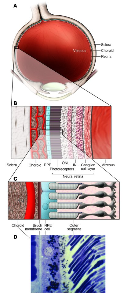 Ocular anatomy relevant to AMD. (A) Cross-section of an eye showing the ...