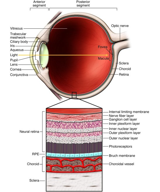Scheme of an eye showing major anatomical structures and organization. D...