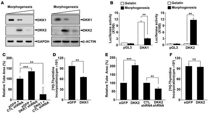 DKK1 and DKK2 reciprocally expressed during endothelial morphogenesis di...