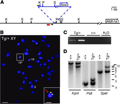 The Sr transgene has integrated upstream of Aldh1a1 on chromosome 19.   ...
