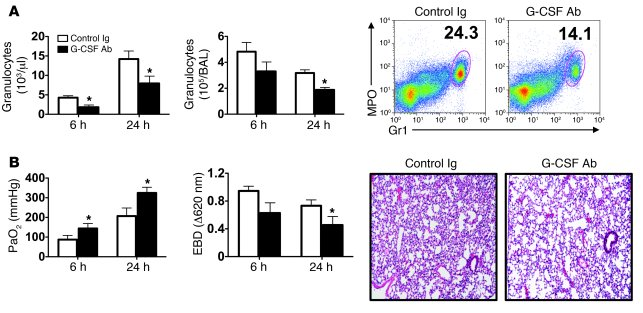 G-CSF blockade prevents graft injury in B6 (Bcl3–/–) lung recipients.   ...