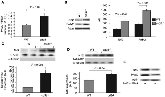 CD36 inhibits Nrf2 nuclear translocation. (A) Real-time PCR–based Prdx2 ...