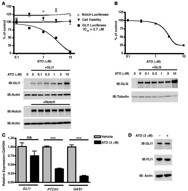 ATO inhibits GLI1 protein activity and target gene expression. (A and B)...