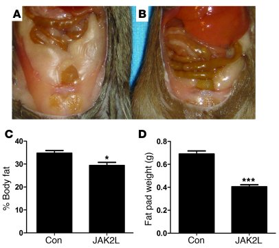 Decreased adiposity in 20-week-old JAK2L mice. (A) Appearance of mesente...