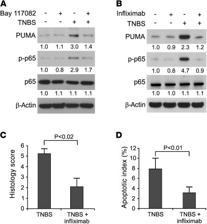 Effects of TNF inhibition on TNBS-induced PUMA expression and colitis. (...