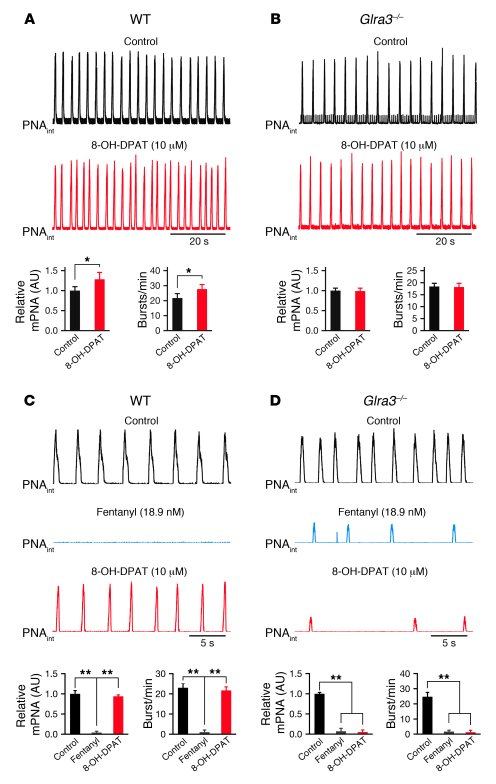 Altered modulation of the respiratory network in Glra3–/– mice.     (A a...