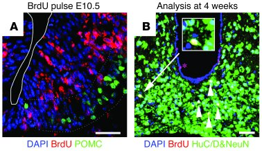 BrdU administration at E10.5 labels embryo-born neurons in the adult hyp...