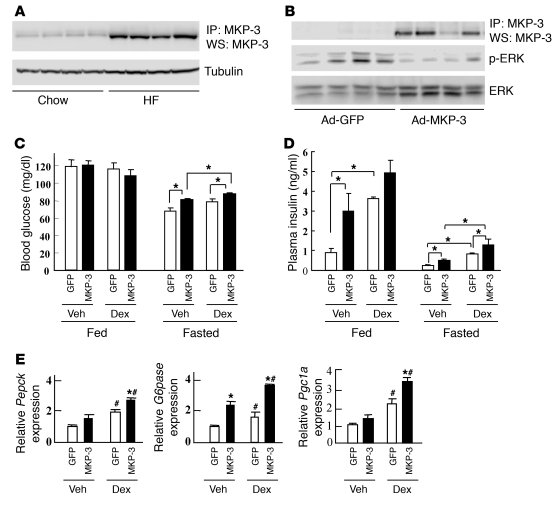 Overexpression of MKP-3 in lean mice. (A) Endogenous MKP-3 protein level...