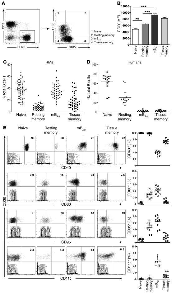 Identification of 4 phenotypically distinct B cell subsets in the periph...