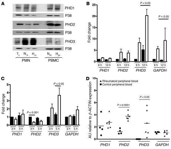 PHD3 is upregulated in human neutrophils in response to hypoxia and proi...