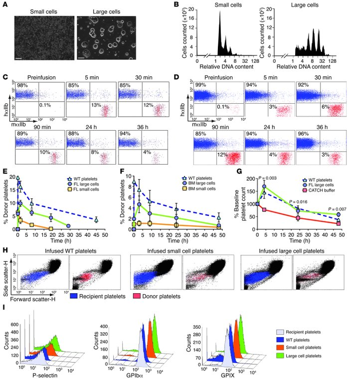 Characterization and infusion of megakaryocytes. (A) Representative fiel...