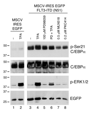 FLT3ITD can induce phosphorylation of C/EBPα on serine 21 by a non-ERK1/...