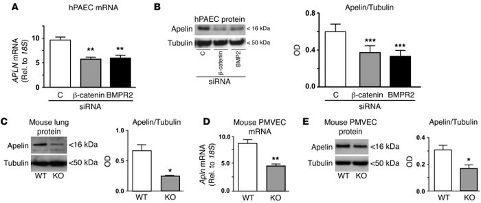 Loss of BMPR2, PPARγ, or β-catenin leads to decreased apelin expression....