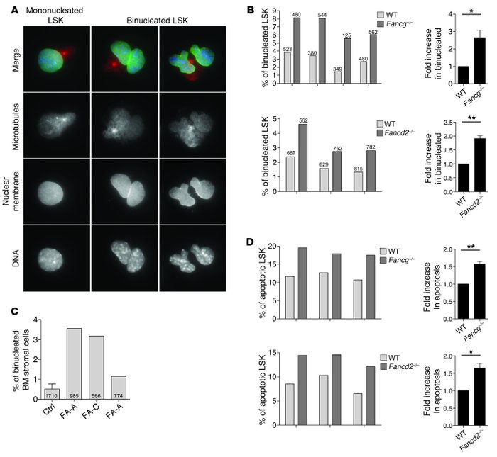 Increased cytokinesis failure in murine Fancg–/– and Fancd2–/– HSCs and ...