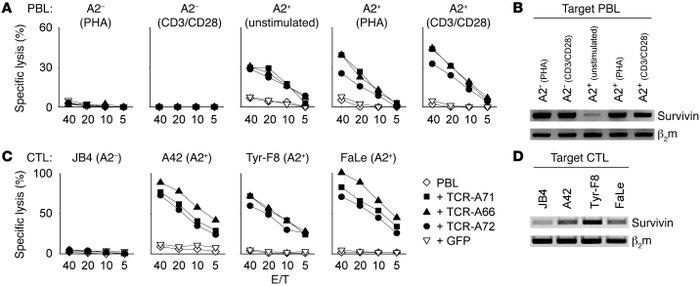 Cytotoxic activity of survivin-specific TCR-modified PBLs. The cytotoxic...