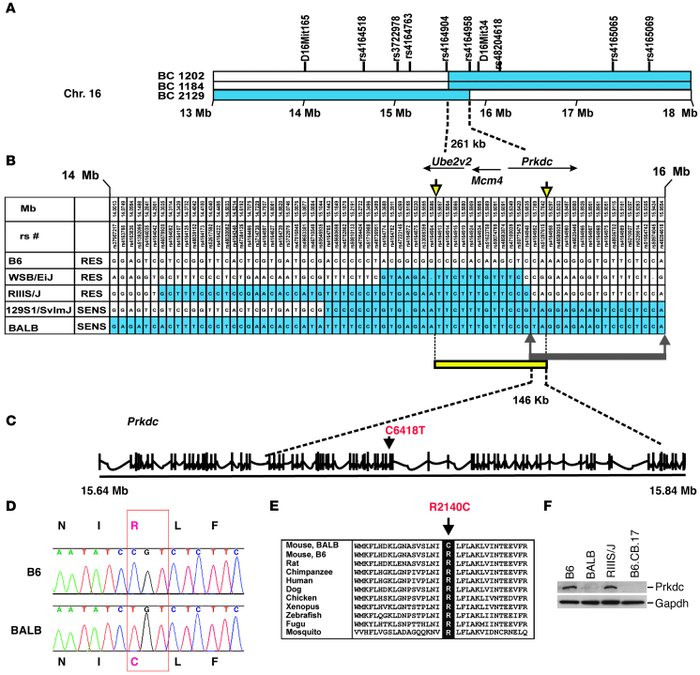 Mapping and identification of the Prkdc mutation.     (A) Meiotic mappin...