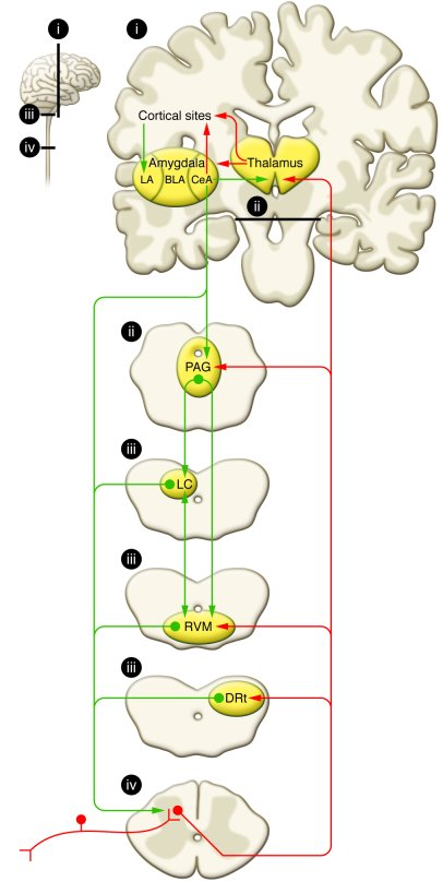 Schematic representation of pain modularity circuitry. Nociceptive input...
