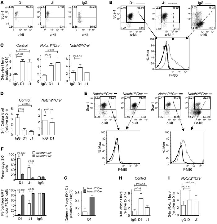Notch2, but not Notch1, mediates SK+ self-renewal and inhibition of myel...