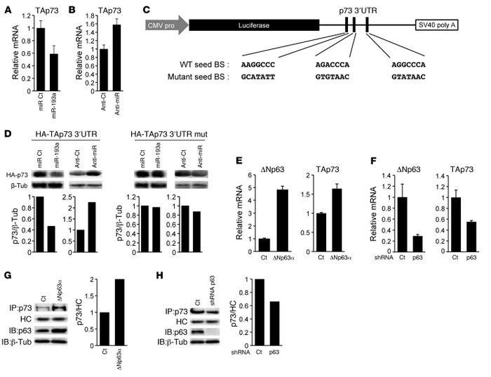 Direct inhibition of p73 by miR-193a is opposed by p63. (A) Endogenous p...
