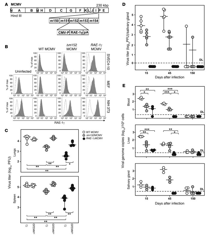 RAE-1γMCMV is attenuated in vivo in an NKG2D-dependent manner.     (A) ...