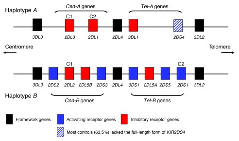 Representative KIR A and B haplotypes illustrate centromeric (Cen-A and ...
