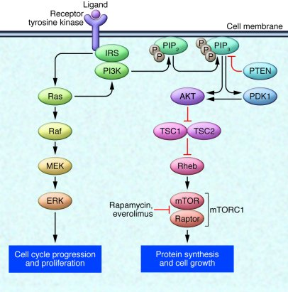 The PI3K/AKT/mTOR pathway. Receptor tyrosine kinases bind with ligand an...