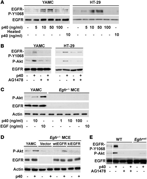 p40 activates EGFR, leading to Akt activation in colon epithelial cells....