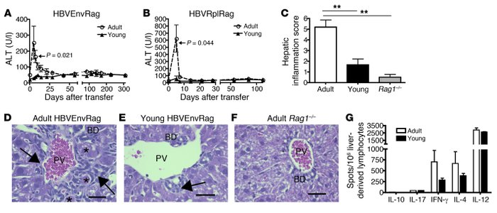 Transfer of adult splenocytes into young and adult HBVtgRag mice results...