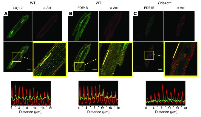 Localization of PDE4B and LTCC at the transverse tubules in AMVMs. (A) C...