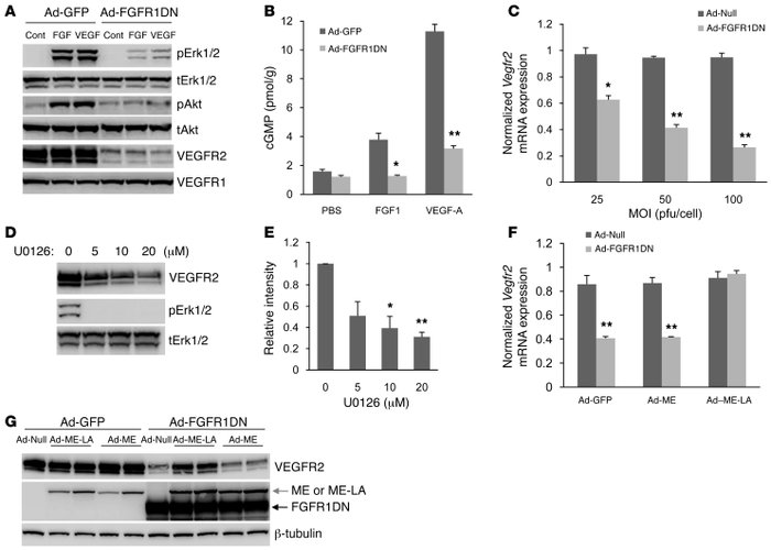 FGF regulation of VEGF signaling and VEGFR2 expression. (A) Western blot...
