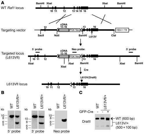 Generation of inducible Raf1L613V knockin mice.     (A) Targeting strate...