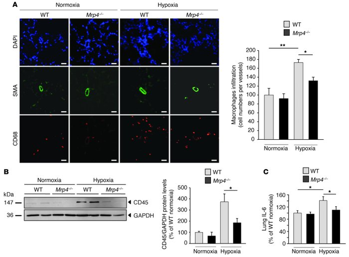 Reduction of hypoxia-induced inflammatory response in Mrp4–/– mice.     ...