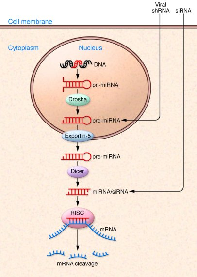 siRNA, miRNA, and shRNA cellular pathways. With successful delivery, siR...