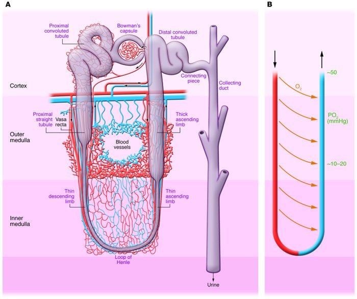 Normal nephron, corticomedullary oxygen gradient, and outer medullary mi...