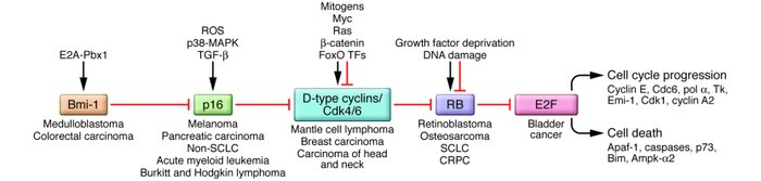 Inactivation of the RB pathway in human cancers. Different components of...