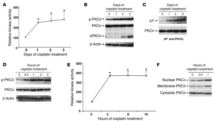 PKC-δ activation during cisplatin treatment in mice and RPTCs. (A) Kinas...