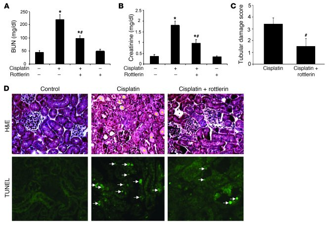Effects of rottlerin on cisplatin-induced nephrotoxicity in vivo in mice...