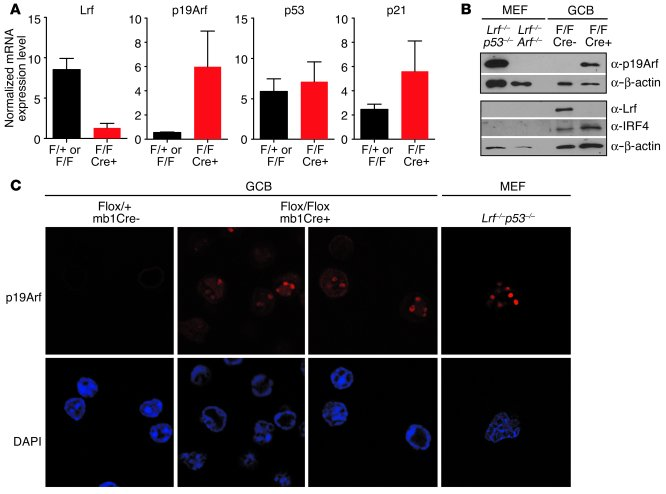 Loss of the Lrf gene leads to p19Arf upregulation in GCB cells.     (A) ...
