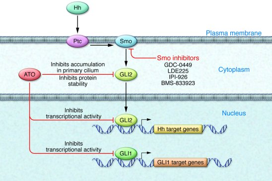 Proposed mechanisms of ATO action on Hh signaling pathway components. Th...