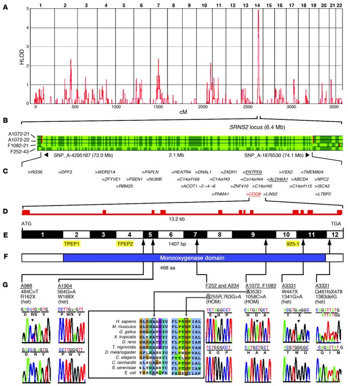 Positional cloning of COQ6 mutations in individuals with NS and SND.    ...